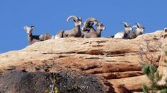 Zion National Park and the Utah Division of \nWildlife Resources are hoping to collaborate in \nmanaging a herd of more than 500 desert bighorn \nsheep, which has grown from a group of 12 that \nwere reintroduced to the park in National Park Lodges, Zion National Park, National Parks, Zion Lodge, Zion Park, Big Horn Sheep, Utah, Mount Rushmore, Mountains