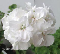 Pelargonitaivas: Jurmala. Jurmala on Latviasta, Jurmalan kaupungista löydetty vanha pelargoni. Sillä on valkoiset, kerrotut kukat ja se on kasvutavaltaan kunnollinen vanhanajan pelargoni; se peittää tarvittaessa koko ikkunan rehevällä oksistollaan. Tunnetaan myös nimellä Jurmalan kahvila, alkuperäisen löytöpaikan mukaan.