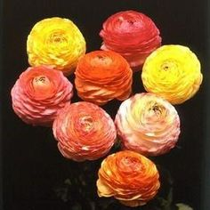 Ranunculus pastel mix bulbs for $9. Many gardeners gravitate to soft, easy to mix colors, ones that flatter most every space or vase. These are as pretty as you'll find anywhere with pinks, peache