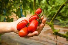 Grow Tastier Tomatoes with Epsom Salt
