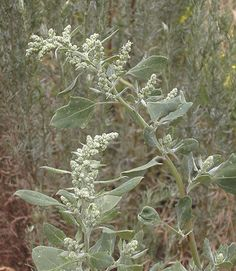 Lambsquarter is one wildly misunderstood weed. Learn about all the nutritious and medicinal benefits of this plant from root to seed and get recipes for lambsquarter salad, quiche, soap, and more. Healing Herbs, Medicinal Plants, Permaculture, Nature Sauvage, Edible Wild Plants, Real Plants, Wild Edibles, All Nature, Survival Food