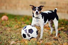 #Sancho and his favorite past time #soccer #rat #terrier