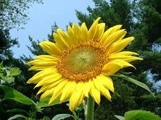 slunečnice - Hledat Googlem Plants, Plant, Planting, Planets