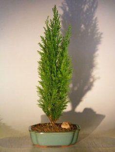 Italian Cypress Evergreen Bonsai Tree - Large(cupressus sempervirens)