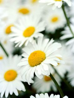 Daisy        Daisies offer a simplistic beauty that works well in any cottage garden. Their bright white blooms with sunny yellow centers are perfect for beds and borders, as well as vases.        Name: Leucanthemum varieties        Growing conditions: Full sun to part shade and well-drained soil        Height: To 3 feet tall        Zones: 4-8        More on Growing Daisies
