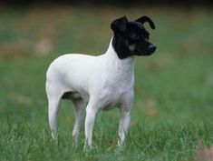 Terrier japonais : chien et chiot. Best Dog Breeds, Best Dogs, Pitbull, Le Terrier, Terriers, All Types Of Dogs, What Kind Of Dog, Japanese Dogs, Matou