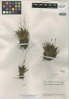 Carex tachirensis Steyerm