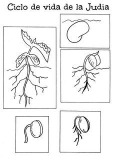 ✿ Láminas del Ciclo vital de una planta.     ... MODELO 1         ... MODELO 2         ... MODELO 3         ... MODELO 4     ... MODELO...