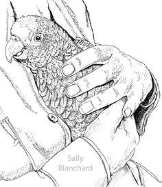Sally Blanchard - Pen Drawing Yellow-shoulder Amazon Cuddling