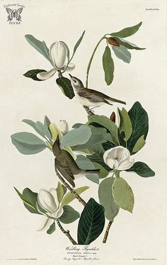 Sweet Bay Magnolia, Magnolia virginiana with Warbling Flycatcher. Birds of America [double elephant folio edition], Audubon, J.J., (1826-1838) [J.J. Audubon] |  From the botanical illustration collection of Swallowtail Garden Seeds. This image is in the public domain. Click right to download. Use as you choose.