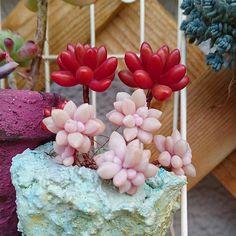 おはよーございます♪今年も良い色になってます。我が家の優等生(^^)b #多肉植物 #寄せ植え #虹の玉 #姫秋麗