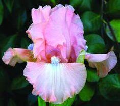 Your Shopping Cart – Sutton Iris Rare Flowers, Iris Flowers, Exotic Flowers, Amazing Flowers, My Flower, Spring Flowers, Planting Flowers, Beautiful Flowers, Flower Diy