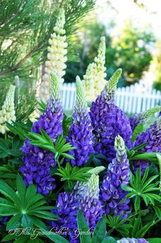 Lupines, I love them. I wish mine looked like this. Purple Garden, Love Garden, Dream Garden, Purple Flowers, Wild Flowers, Beautiful Gardens, Beautiful Flowers, Hollyhock, Primroses