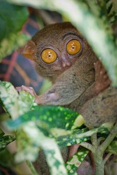Philippine Tarsier by Morten Falch Sortland on Flickr