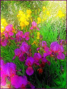 andherjourneycontinues: Yellow and Violet Irises (by Tim Noonan)