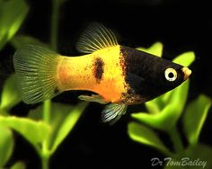 Honey Bee Platy- I've seen some really pretty and some really ugly ones of these.