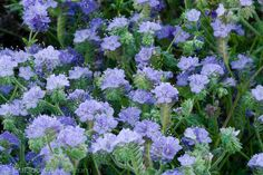 Phacelia by Ed Book.
