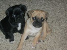 chug puppies brother and sister!