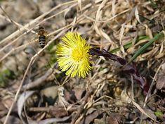SPrintIllustration / Podbeľ liečivý a včela medonosná Nature, Plants, Animals, Naturaleza, Animales, Animaux, Animal, Plant, Animais