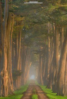 Cypress-lined lane (California) by Michael Ryan / 500px