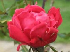 How to plant and take care of knockout roses