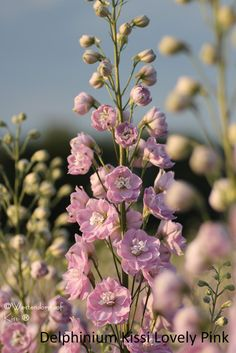Delphinium Kissi Lovely Pink (P)