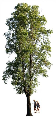 Cutout photo of Black poplar tree with transparent background and separated layers for people, tree and background. 2546x 5379 Pixels. TIF. Cutout photo of Black poplar tree. Transparent background and separated layers for people, tree and background. Populus nigra En: Black poplar; Fr: Peuplier; Pt: Choupo negro; Es: Álamo negro. De: Schawrze Pappel; Nl: Italiaanse populier.