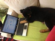 German Shepherd sending an email German, Cats, Animals, Deutsch, Gatos, Animales, German Language, Animaux, Animal