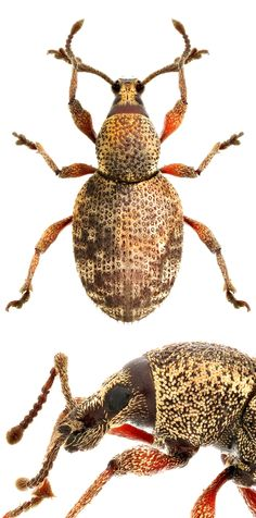Otiorhynchus (Dorymerus) singularis1