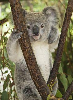 Koala♡♥☆★°•