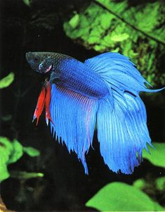 A betta tank should be at least 2-5 gallons and have a temperature of 80 degrees Fahrenheit, so it will need a heater. The pH level of the tank should be 6.0-8.0. There should be hiding spots like a cave and a light filter to help keep the tank and water clean. Males cannot be put in the same tank with other males; they will fight until one of them ends up dying.