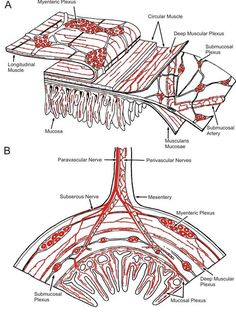 Enteric nervous system    John B. Furness (2007), Scholarpedia, 2(10):4064. Enteric Nervous System, Diverticulitis, Ibs, Mast Cell, Vagus Nerve, Muscle, I Want To Know, Medical Information, Neurons