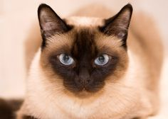 http://www.pets4homes.co.uk/pet-advice/an-introduction-to-the-various-thai-cat-breeds.html