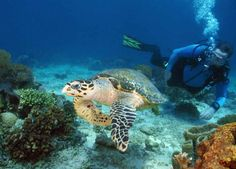 Have you ever swam with a turtle? Where? Was it amazing? #diving #padi