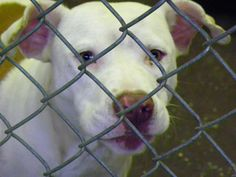 This is tag 240, a very loving friendly boy who is completely out of time. He will not make it past Friday without commitment! PLEASE do not let this precious boy die...he is truly a sweetheart! American Bulldog mix.  Cleveland County NC animal control in shelby nc call open tues wed and thursday!  HELP THIS BABY