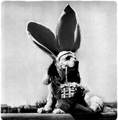 Vintage dog photo - A Cocker Spaniel named Butch wears bunny ears and carries an Easter basket Vintage Dog, Vintage Easter, Vintage Holiday, Holiday Images, Boyfriend Crafts, Easter Bunny Decorations, Easter Celebration, Mermaid Blanket, Craft Stick Crafts