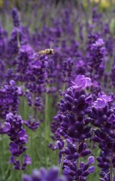Purple Lavender - Check out the bee! how cool! ♥♥♥♥♥♥♥♥♥♥