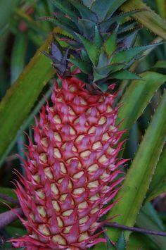 Ananas (ornamental pineapple (2)