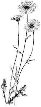 Image result for wild daisy tattoo