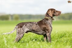German Shorthaired Pointer Dog Breed Information, Facts, Photos, Care   Pets4Homes