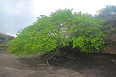 Les Antilles abritent l'arbre le plus dangereux du monde