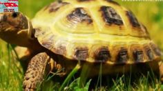 Top 10 loài rùa kỳ lạ nhất hành tinh || Nếu Không Có Camera Ghi Lại Thì ... Football Score, Turtle, Youtube, Tortoise, Turtles, Youtubers, Sea Turtles, Youtube Movies
