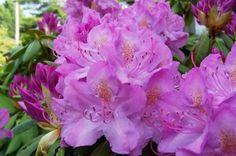 Rhododendrons geven in het algemeen de voorkeur aan iets zure, luchtige grond. Bij het planten dient men de struiken niet te diep te planten: veel soorten hebben hun wortels vrij dicht onder de oppervlakte. Ook een te veel aan water kan de wortels van lucht beroven. Direct na het planten en de eerste tijd hierna kan water geven nuttig zijn. De meeste soorten kunnen zon goed verdragen, sommige dan weer niet.