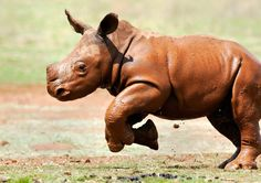 Adorably Awkward Rhinos Play Like Puppies In The Mud