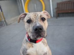 Safe ❣ HANSEL – A1093186 TO BE DESTROYED 10/24/16: ****CAN BE ADOPTED BY THE PUBLIC**** A volunteer writes: You might be drawn in initially by Hansel's good looks, but it's her personality that really seals the deal. Hansel likes to cuddle, give kisses, and explore her surroundings–she's very curious about everything (much like her namesake) and enjoys chasing her tennis ball
