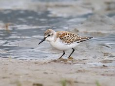 Sandpiper by the tide [Wildwood Crest, NJ]