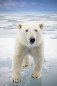 Polar Bear by Steven Kazlowski, Close up of a Polar bear on sea ice floating off the coast of Svalbard in search of seals, Norway, Europe.