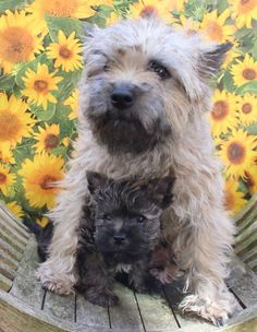 Cairn terrier mommy and pup