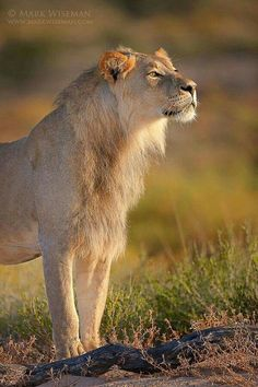 Young African Male Lion Looking Forward to in What Life Has to Offer.