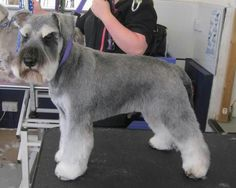 "Fantastic ""schnauzer dog"" info is offered on our site. Take a look and you wont be sorry you did. Dog Grooming Styles, Dog Grooming Shop, Dog Grooming Salons, Miniature Schnauzer Puppies, Schnauzer Puppy, Schnauzer Grooming, Puppy Room, Dog Haircuts, Outdoor Dog"